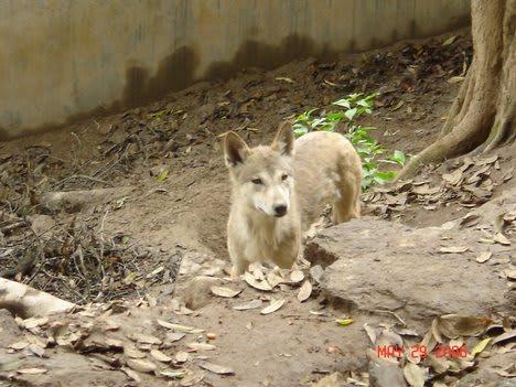 ニホンオオカミの画像 p1_16