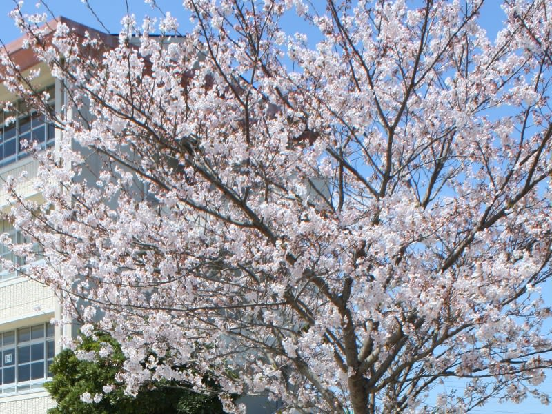 Sakura_april2011
