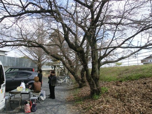椿田稲荷の桜