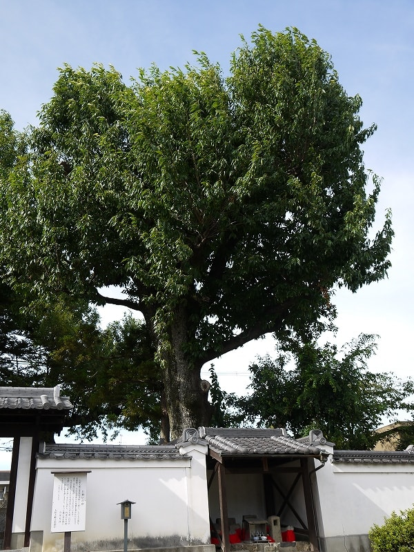 大納言塚のクヌギの巨樹