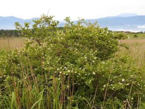 高ボッチ高原・鉢伏山で最近咲いている花 ミヤマイボタ(深山水蝋)