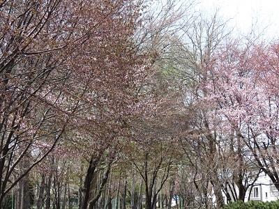 白石城・益岡公園の桜(宮城県白石市) | スナログ