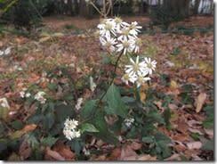 (3)シロヨメナの花
