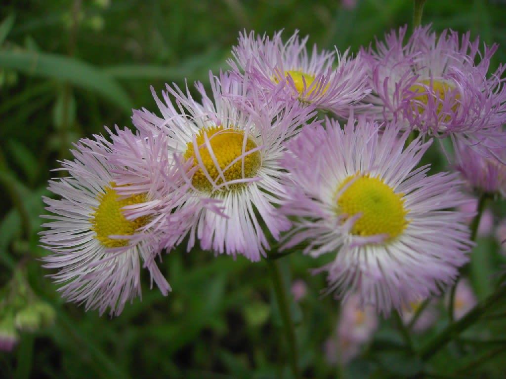 ピンクのはるじおんが咲いていました。 種別 草花 色別 ピンク 花名 は... はるじおん