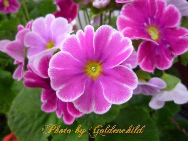 プリムラの画像 p1_39