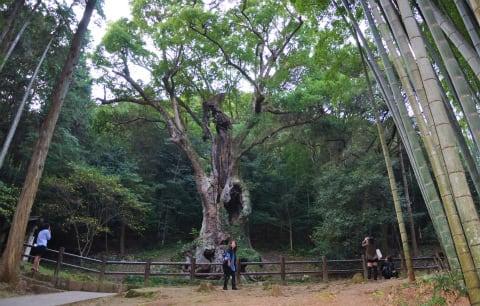 武雄神社の樹齢3000年の大楠 - 釣れづれNickey