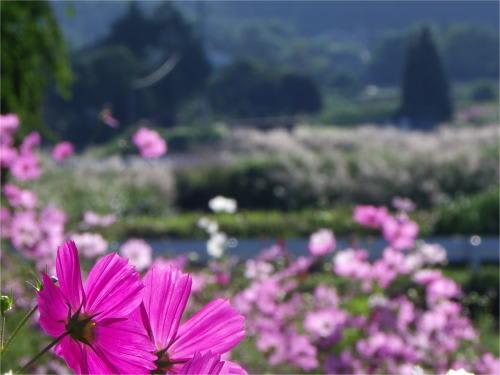 東山山麓広域農道脇の秋桜