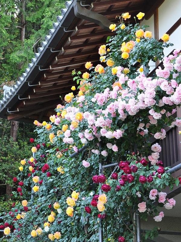 松尾寺の棚バラ