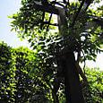 2011-5-20-7 ツル性植物