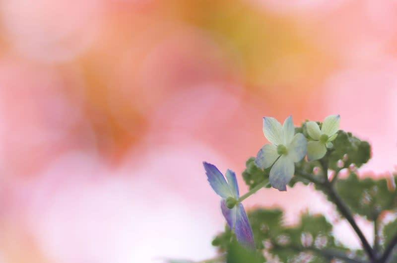 春もみじの下の山紫陽花