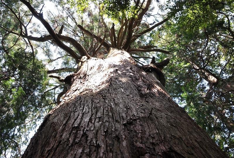 石打八王子神社の杉幹