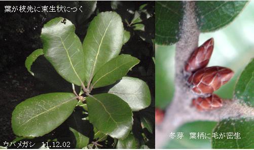 ウバメガシの画像 p1_24