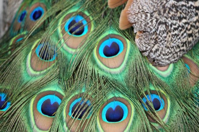 インドクジャクの羽 インドクジャクの羽 インドクジャクの羽 インドクジ...  nachtmus