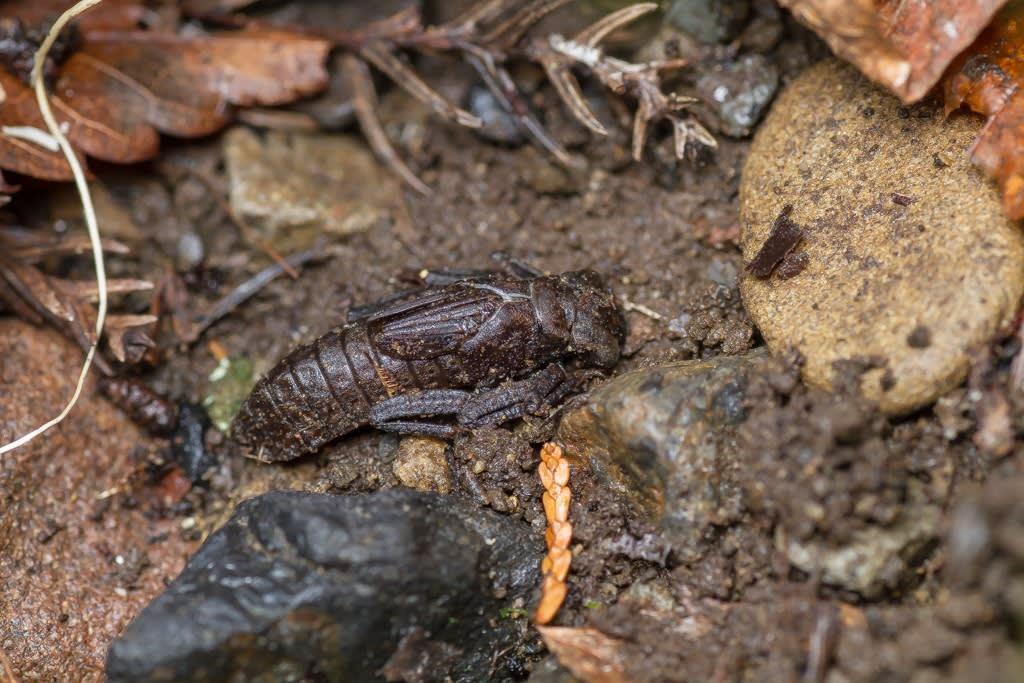ムカシトンボの上陸ヤゴの写真