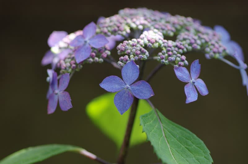 山紫陽花『黒姫』