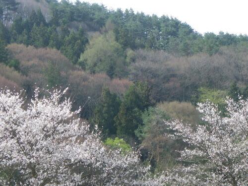 四賀支所の桜