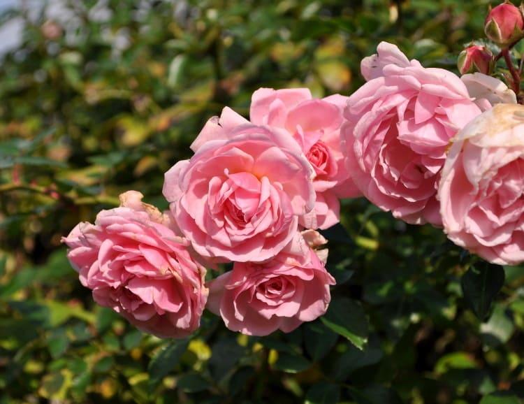 中輪でライトピンクの修景バラ、ラブリー・メイアン Lovely Meil...  花の公園・俳句