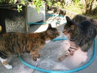 メスの三毛とオスのトラ 外の猫と内の猫