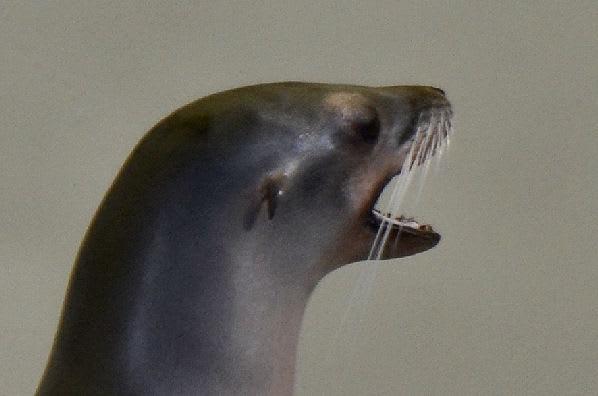鰭脚類 - カエサルの世界