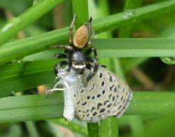 クモに捉まるチョウ、トンボ - エッセイ  - 麗しの磐梯 -