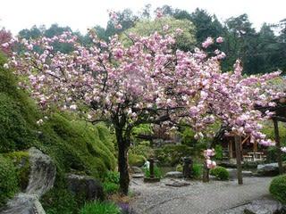 合掌村の桜