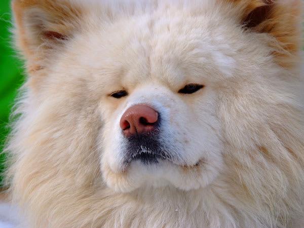 去年会いに行ったとき ご存知、ぶさかわ犬の「わさお」去年会いに行ったときすでに写真集やTシャツ.