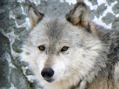 狼の画像 p1_39