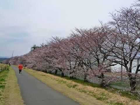桜 - 自転車にまつわる四方山話 ...