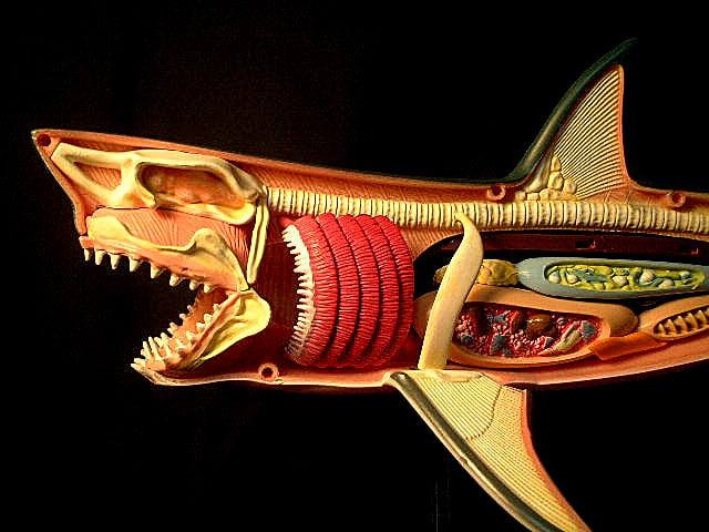ホホジロザメの画像 p1_29