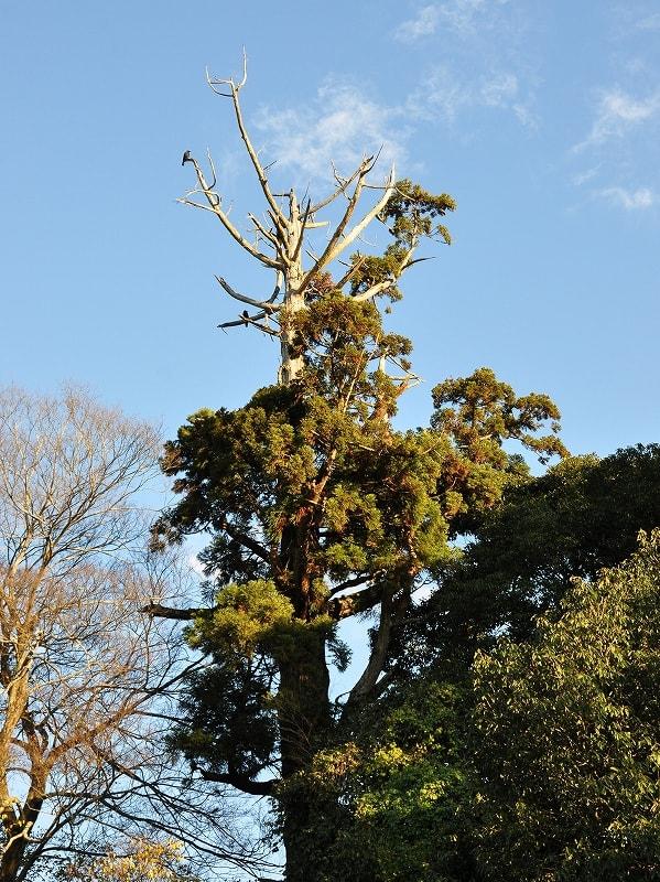忍坂山口坐神社の神木