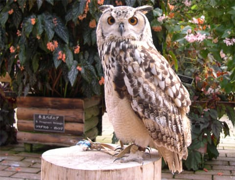 フクロウの画像 p1_25