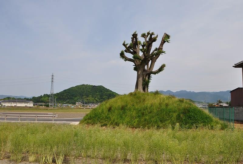 クノギ古墳:後方に見えるのは畝傍山