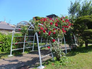 旧イギリス領事館の薔薇(2013年6月30日、7月7日)