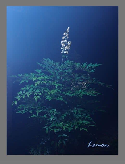宵闇の南天の花
