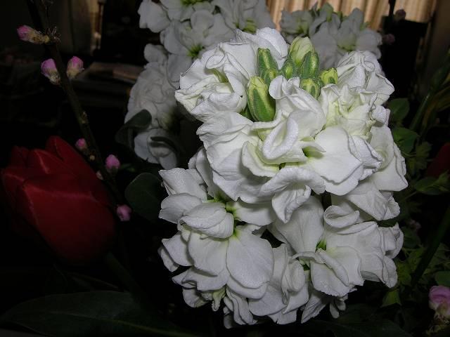 お雛さまの花に春の花を生けました、白のストックに赤のチューリップ