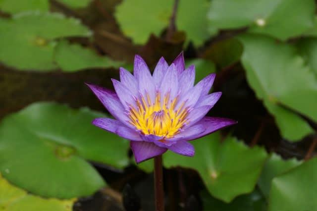 松阪ベルファームの「睡蓮の花・・」
