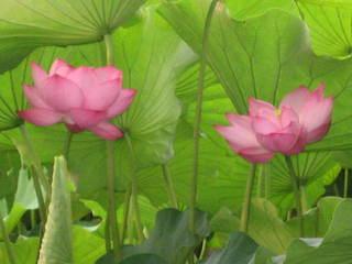 「蓮の花2」