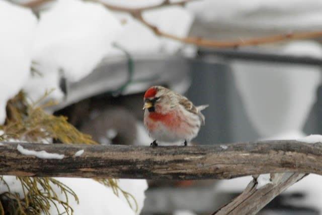 赤い鳥 ベニヒワ - デジカメ大好き♪ ブログ ログイン ランダム ロボットのメディア始めました