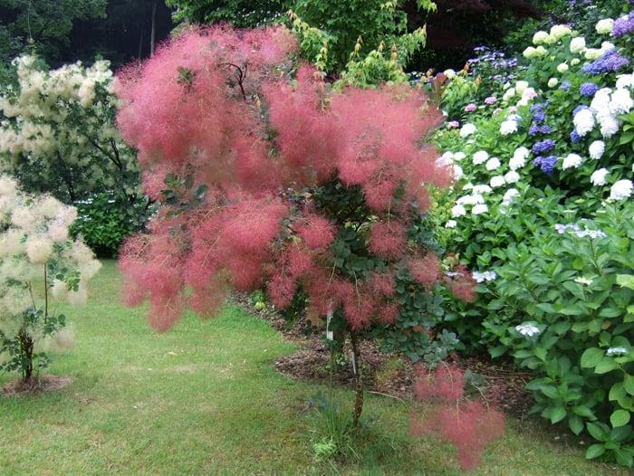 花木 庭木の苗:スモークツリー(けむりの木) 『園芸 …