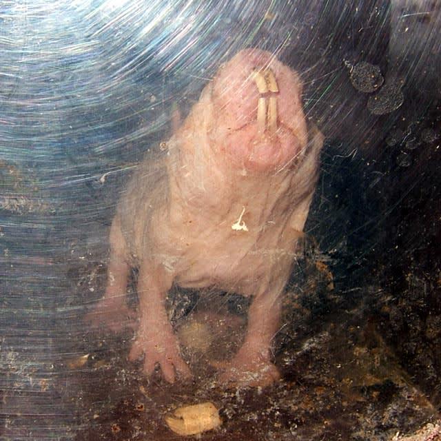 ハダカデバネズミの画像 p1_31