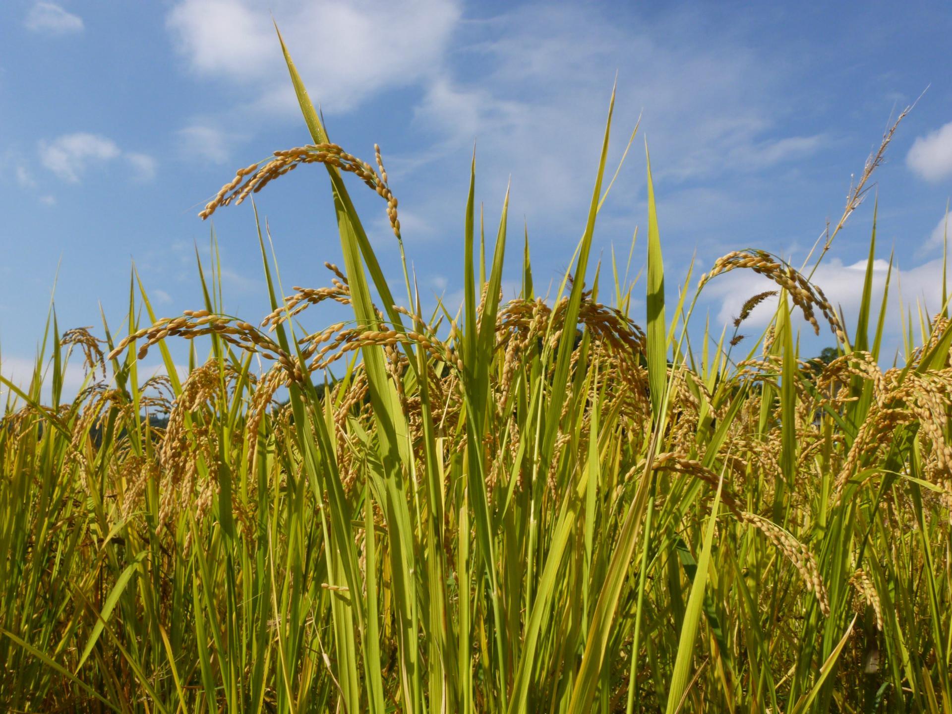さわさわと 秋空のもと 豊かに実りつづける稲です。 青空に映して ...  君は銀河の青い風