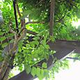 2011-6-4-14 ツル性植物