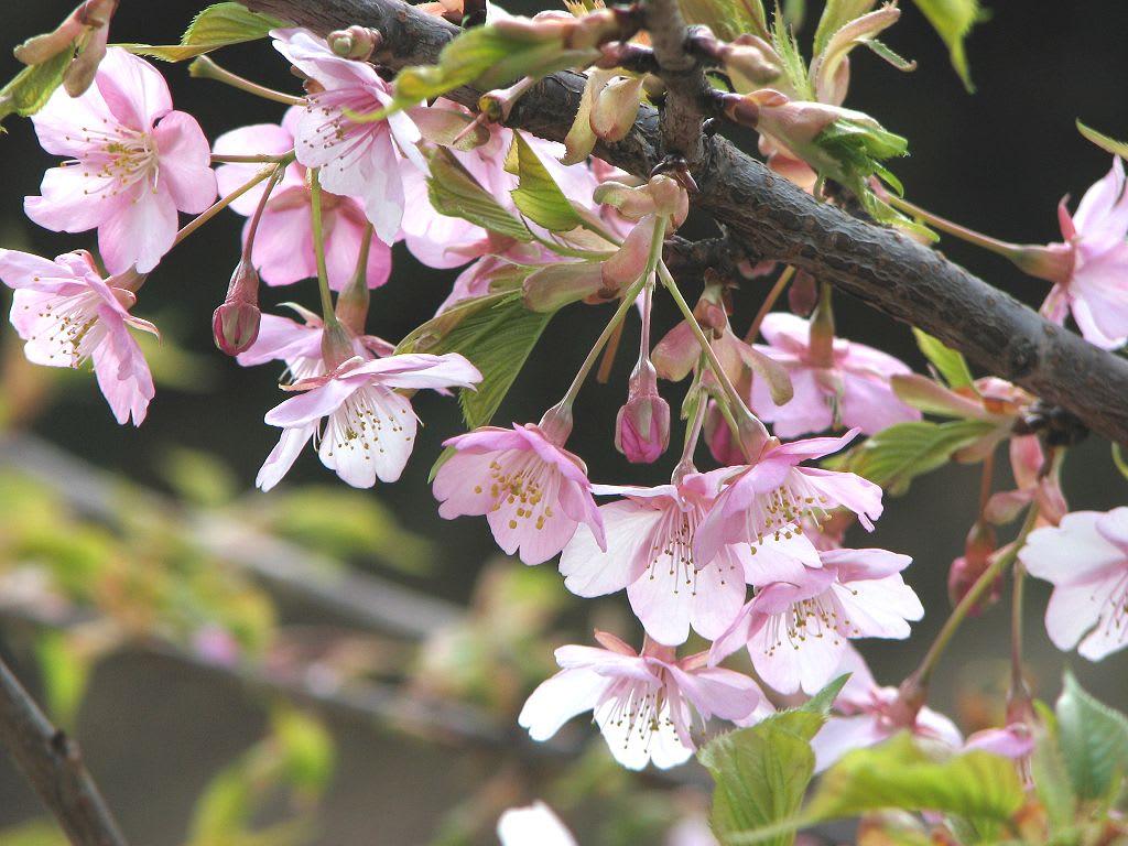 * カワヅザクラ * 河津桜 * 種的には、オオシマザクラ系 と カンヒ...  金沢区・長浜公