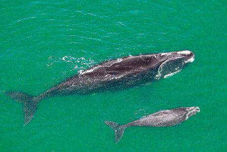 セミクジラの画像 p1_18