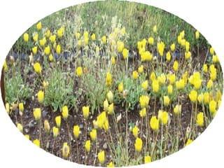 ムルチコ~レと言う花です、黄、薄紫、赤、茶、です