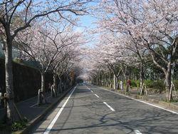 岩戸の桜並木