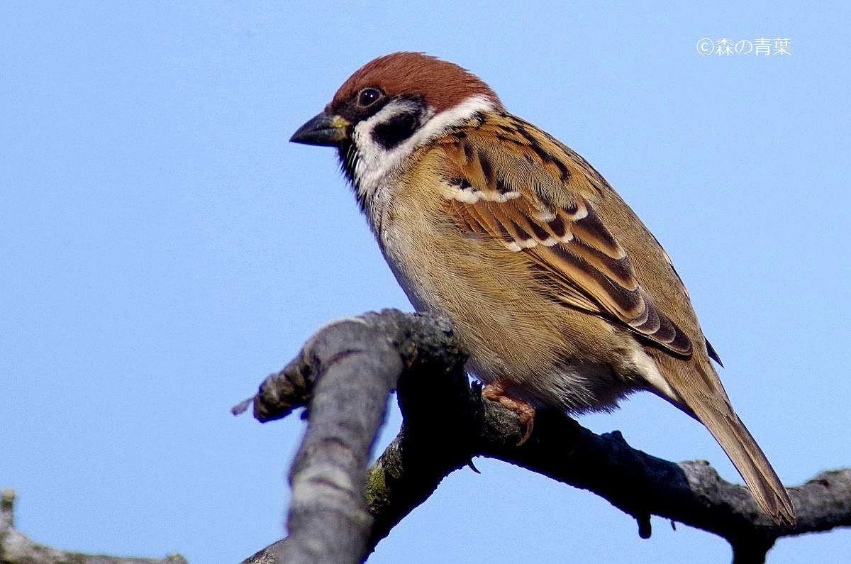 森の青葉 Ⅱ-BORGで身近な野鳥撮影ブログ