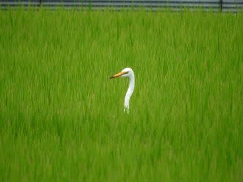 田の中の白鷺