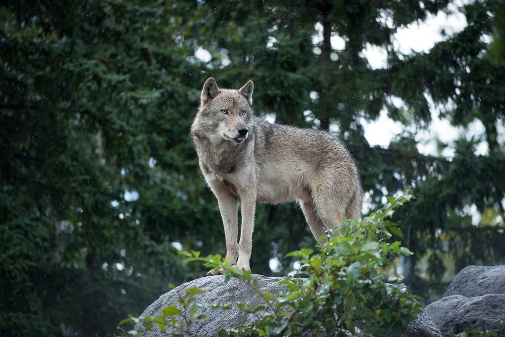 NAVER まとめ旭川市旭山動物園 オオカミの森 画像集