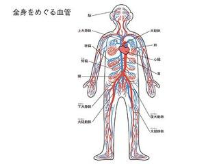 隅から隅まで、全身をめぐっている血液。心臓から送り出された血液は動脈を... 節電対策で頑張るお